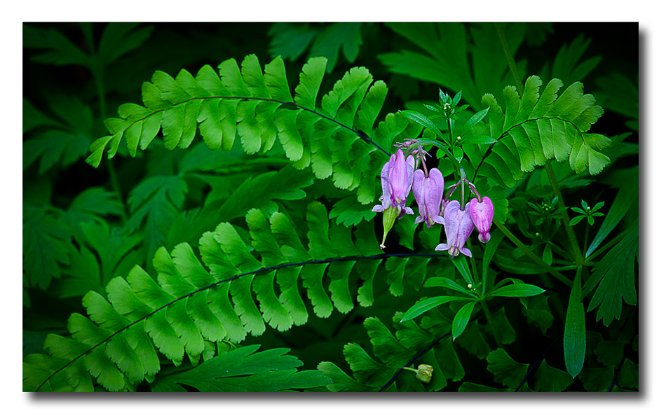 Ferns and Hearts