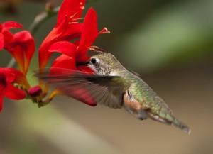Calliope Hummingbird Feeding At A Crocosmia
