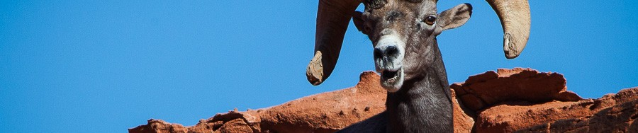Bighorn Sheep - Valley Of Fire
