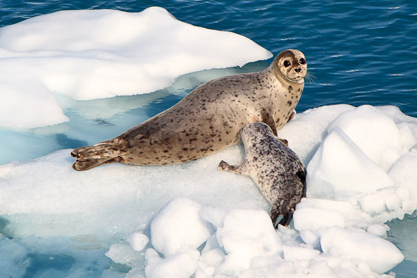 Harbor Seal and Pup