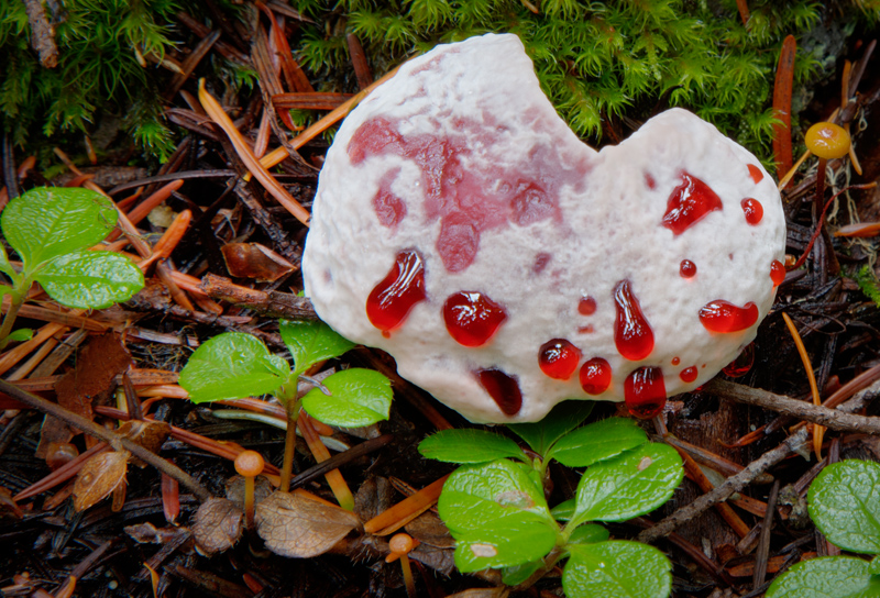 bleeding_mushroom
