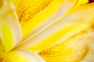 Yellow and Purple Iris Macro