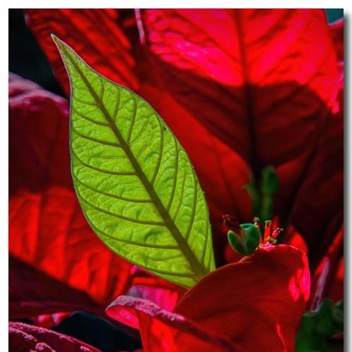 New Poinsettia Leaf