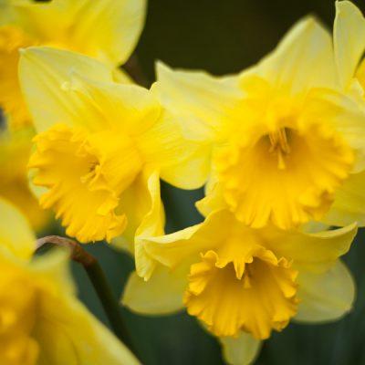 2016-03-04_spring_bulbs-1
