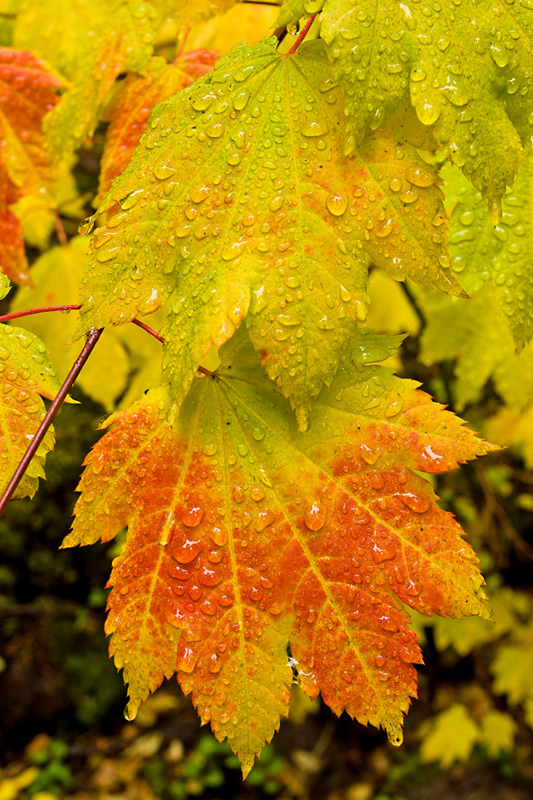 Vine Maple and Rain Drops