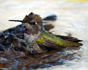 Young Male Anna's Hummingbird at Bath Time